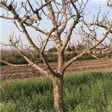 地径16公分山楂树价格表 山楂树苗批发