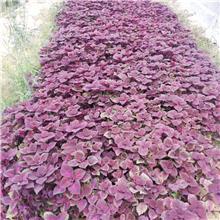 基地直销 玉带草 彩叶草 多年生耐热耐寒 花园庭院花境植物