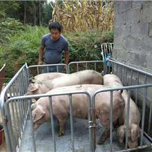 称猪地磅 猪称牛羊称 畜牧电子称价格
