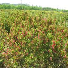 红王子锦带锦带花