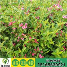 批发锦带苗 红王子锦带苗 锦带花 品种齐全 量大从优绿化