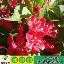 基地直销锦带 红王子锦带 红王子锦带花 基地供应各种绿化苗