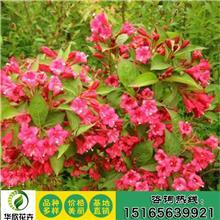 基地直销红王子锦带 锦带花 多分枝各种规格道路工程绿化红王子锦带