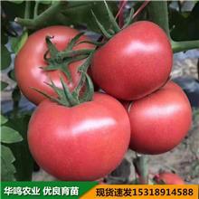斯嘉丽西红柿种子 沈阳维吉特种子 斯嘉丽粉果番茄种子 华鸣农业