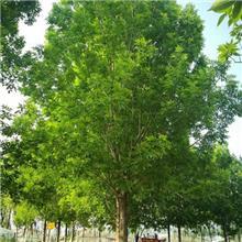 速生白蜡小苗报价 五公分白蜡树价格 12公分白蜡树价格
