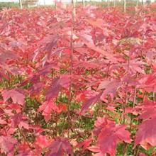12公分红枫价格 8公分红枫价格 15公分红枫树价格