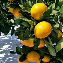 柑橘新品种爱沙柑橘晴姬柑橘金砖柑桔Q桔由良柑橘