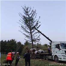 邳州银杏树 12公分银杏树苗价格 鑫尚苗木