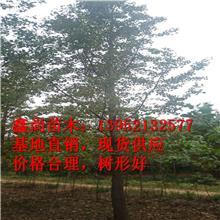 邳州银杏树基地直销银杏树 8公分银杏树苗价格 鑫尚苗木