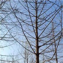 金叶银杏小苗_银杏树价格_柏景|南北方种植