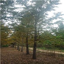 吉永轩22公分银杏树价格 基地直销
