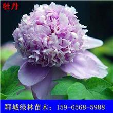 牡丹 观赏牡丹 白色牡丹 紫色牡丹 牡丹树价格