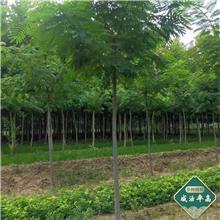 园林绿化银杏 校园观赏银杏 银杏树树苗 价格报价