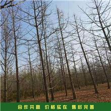 园林绿化银杏 风景银杏树 18公分银杏树 基地报价