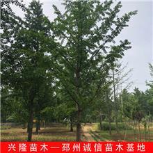 胸径13公分白果树 实生白果树 兴隆苗木 13cm白果树