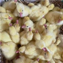 高产蛋浙东鹅苗生长发育快 耐粗饲三花杂鹅包运输