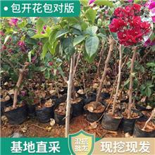 盆栽攀援花卉植物 三角梅花苗 紫色多花三角梅爬藤大苗当年开花 三角梅球