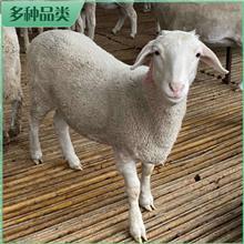 长期出售 纯种澳洲白羊 散养澳洲白羊 肉羊澳洲白羊