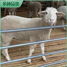 澳洲白绵羊肉羊 价格报价 澳洲白羊母羊 澳洲白羊羔活体销售