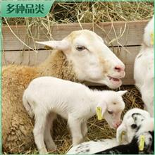 养殖批发 澳洲白母羊活体 澳洲白大母羊 澳洲白羊种羊