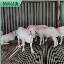 澳洲白母羊活体 大体澳洲白母羊 澳洲白羊羊羔 销售基地