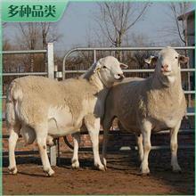 澳洲白羊小羊羔 活体澳洲白羊 澳洲白绵羊 出售基地