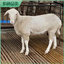 澳洲白羊羊苗 纯种澳洲白羊 白头澳洲白羊 基地报价