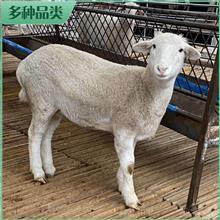 市场供应 纯种澳洲白羊 澳洲白羊肉羊 澳洲白羊种母羊