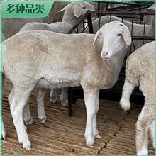 农家养殖 澳洲白羊种母羊 成年澳洲白羊 澳洲白羊肉羊