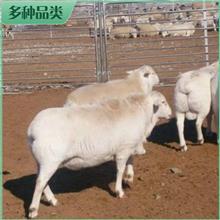 澳洲白羊种公羊 成年澳洲白羊 澳洲白羊活体 市场价格