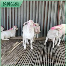 澳洲白羊母羊 活体澳洲白羊 养殖澳洲白羊 市场供应