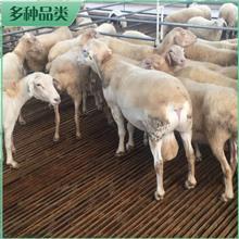 澳洲白羊羔 基地报价 澳洲白羊母羊 杂交澳洲白羊苗出售