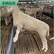 养殖澳洲白羊 澳洲白羊种母羊 澳洲白青年母羊 市场价格