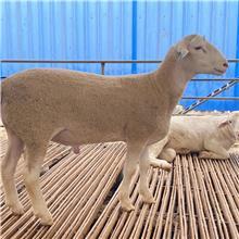 澳洲白种公羊 高质量青年公羊 爬羊好帮手