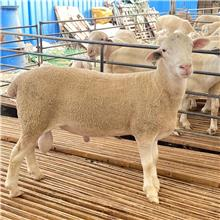 澳洲白公羊羔子 纯种澳洲白公羊 宏毅养殖出售欢迎咨询