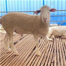 纯种澳洲白公羊 白头杜泊 高质量种羊出售