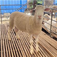 纯种澳洲白绵羊 高质量青年公羊 欢迎咨询