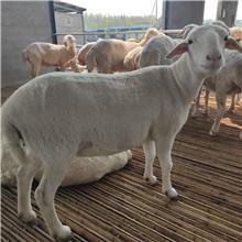 湖羊种羊价格 景泰大型湖羊养殖场 适应性广