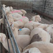 景泰肉羊种价格 肉羊价 繁育率高