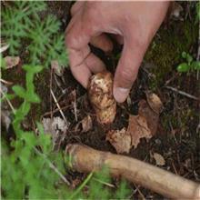 产地直销 天然野生松茸 精品7-9cm 餐饮生鲜
