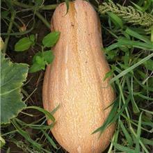 蜜本南瓜种子 各种系列南瓜种子 蔬菜种苗代育 欢迎下单 芳耕农业
