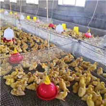四季鹅苗厂家供应 免疫强大三花鹅苗 浙东鹅苗批发
