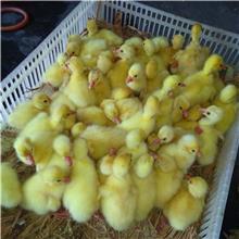 产绒量高四季鹅苗灰鹅苗 生长发育快大三花鹅苗