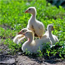 生长发育快泰州鹅苗 抗逆性强大三花鹅苗报价