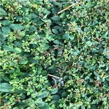 现货批发红双喜玫瑰花苗花卉苗木香水月季种苗阳台庭院四季观赏 清情种苗