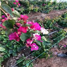 清情种苗 红花三角梅基地直供紫色三角梅四季红三角梅等各种颜色三角梅