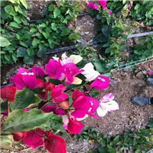清情种苗 盆栽攀援花卉植物 三角梅花苗 紫色多花三角梅爬藤大苗当年开花