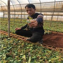 清情种苗斗南基地直供 红双喜玫瑰种苗 大花香水月季 四季常开 量大优惠