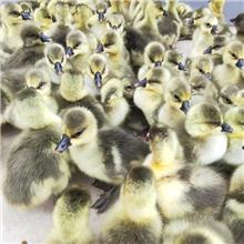 种苗优良纯种脱温鹅苗 生长发育快四季鹅苗 存活率高皖西鹅苗