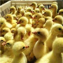 高产蛋白罗曼鹅苗 生长发育快三花鹅苗报价
